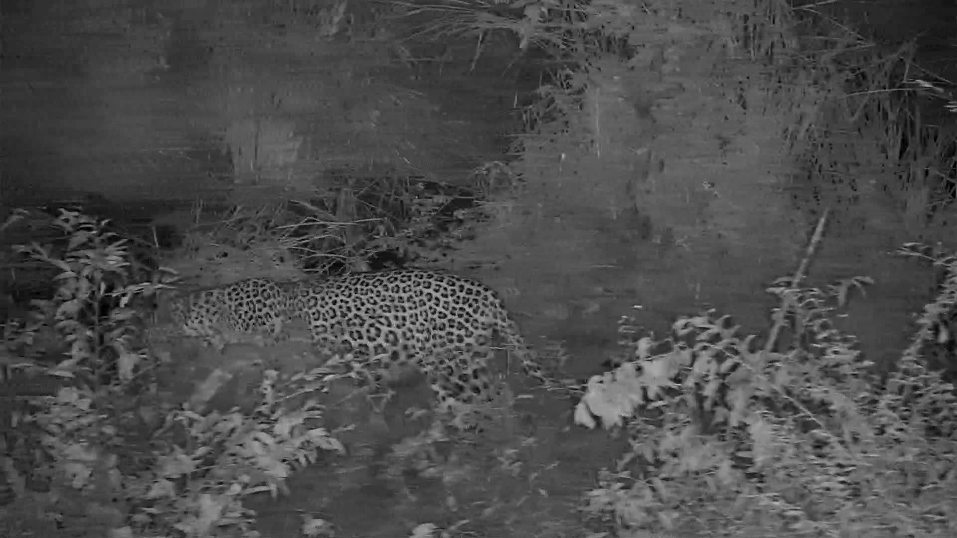 VIDEO: Male Leopard marking its territory