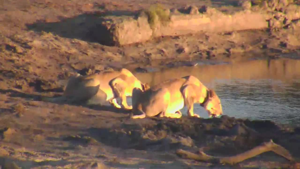 VIDEO: A pride of Lions enjoying a drink while relaxing