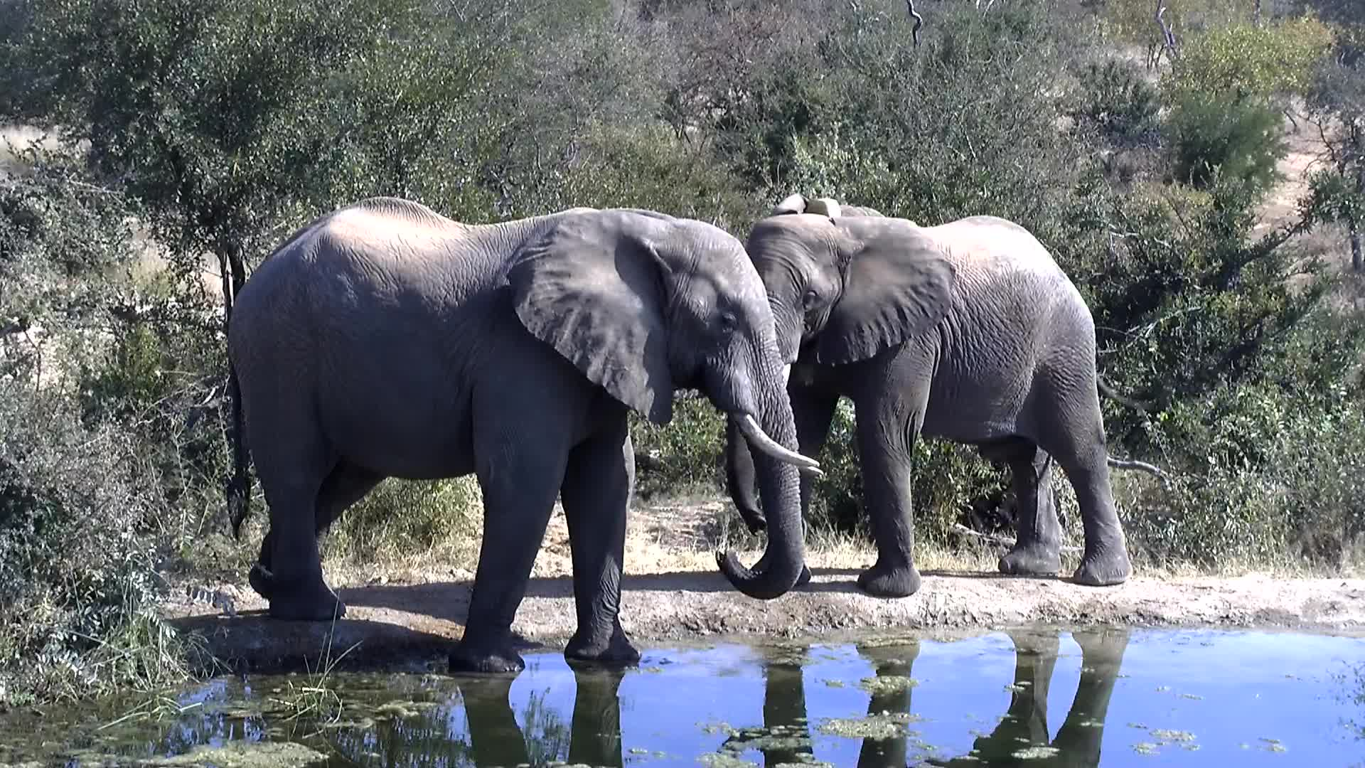 VIDEO: Three elephants come to drink