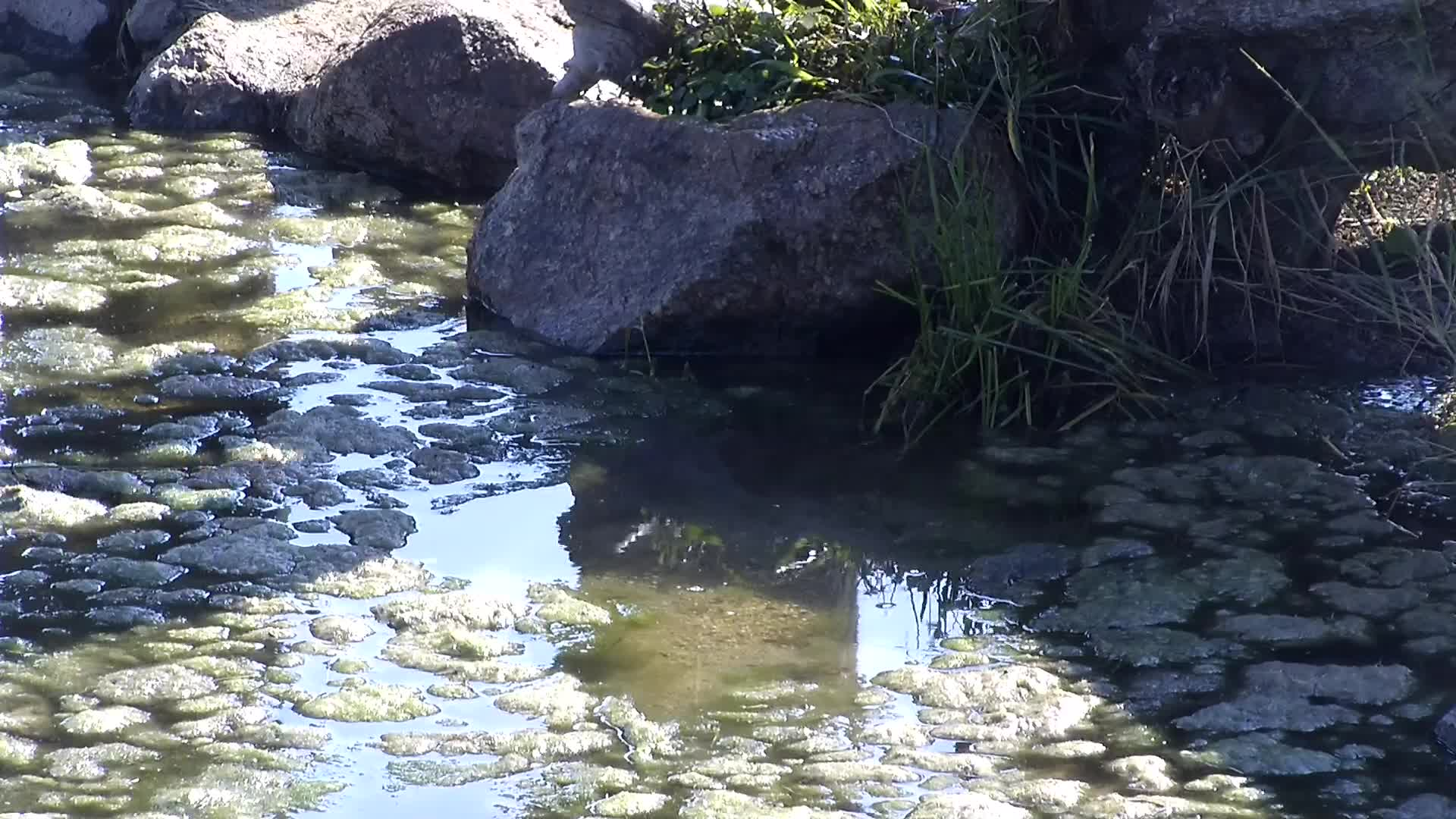 VIDEO: Elephant carefully clears the algae away before drinking