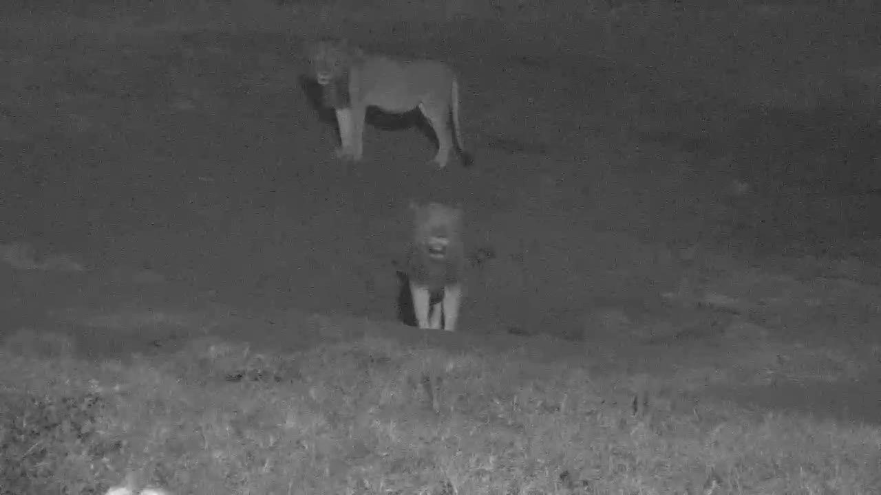 VIDEO:  Two Male Lions looking around and having a drink