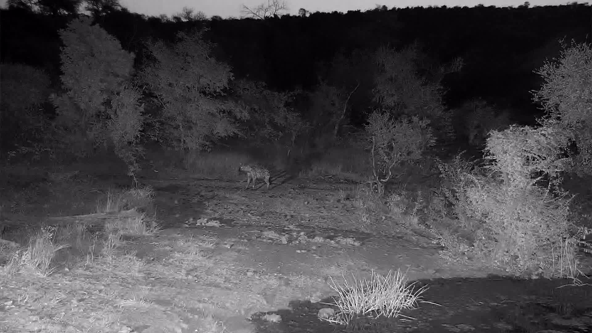 VIDEO:  Hyaena passing by