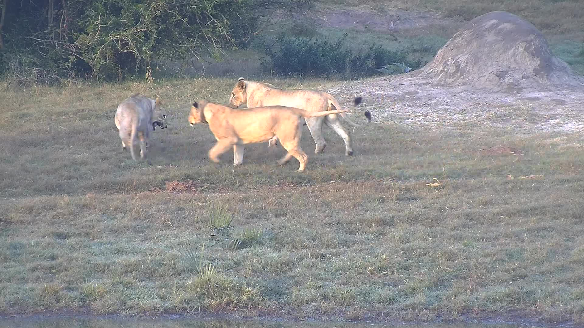 VIDEO: Lion mom and offspring