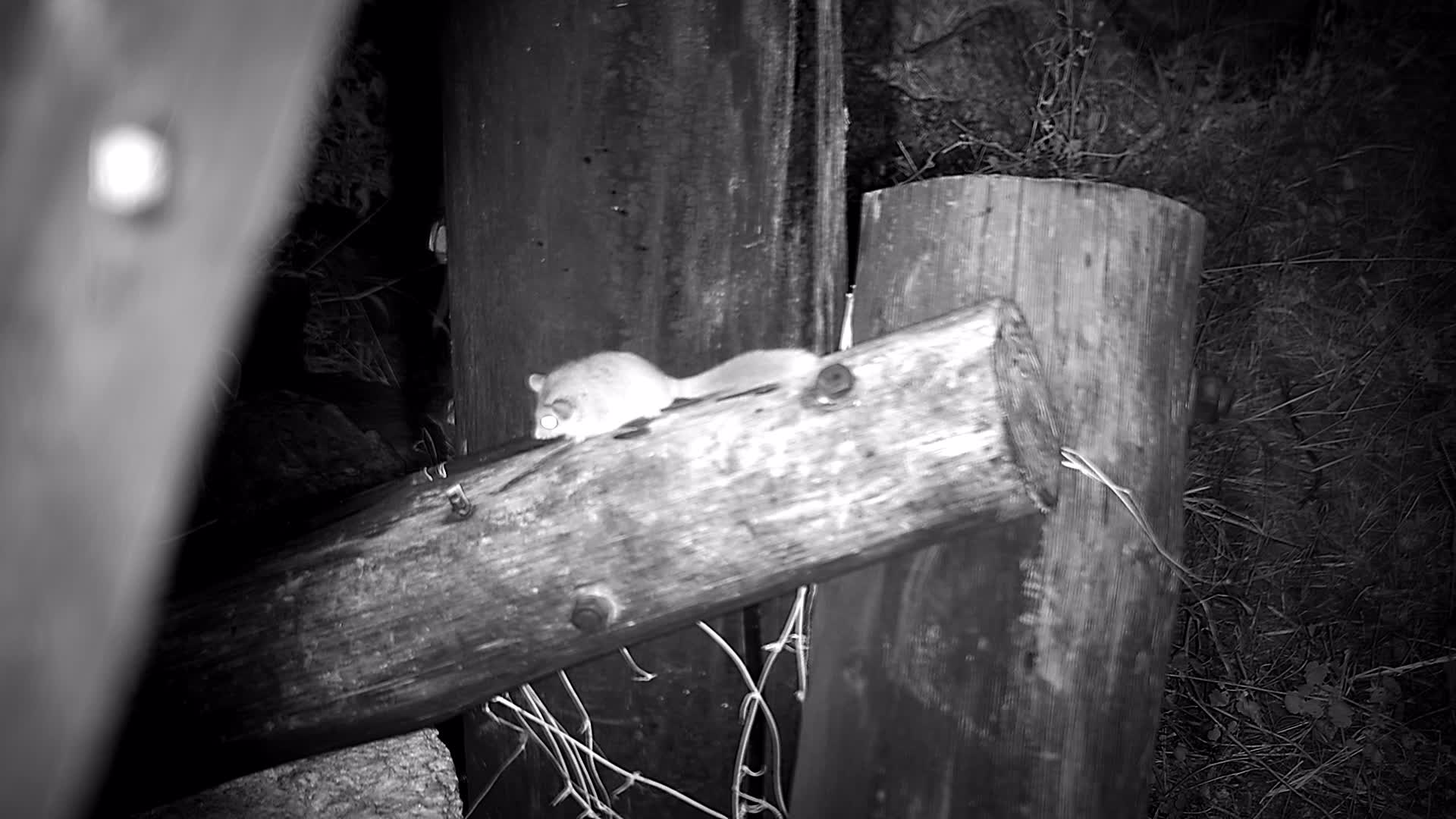 VIDEO: Alert Woodland Dormouse