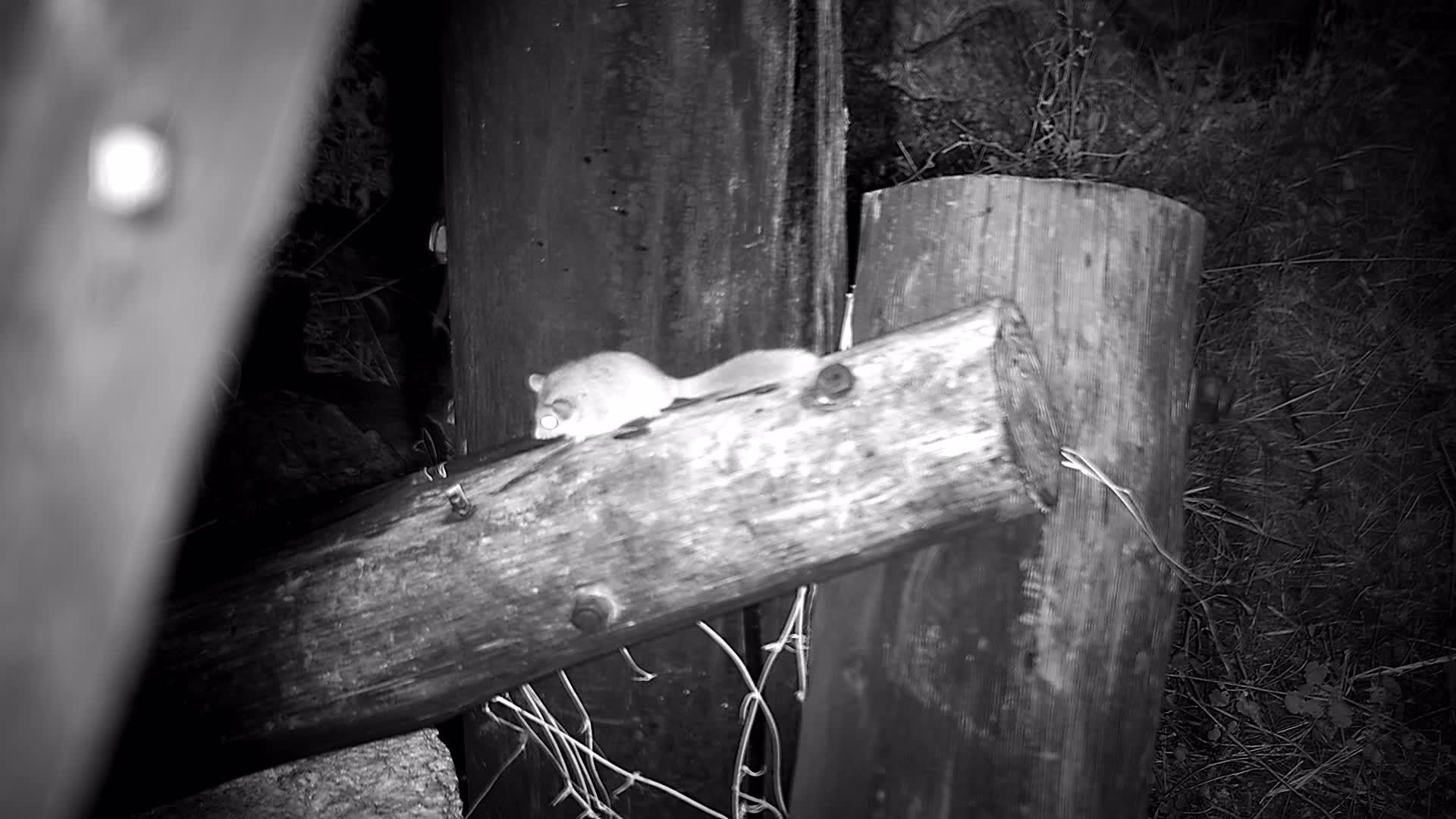 VIDEO: Alert Woodland Dormouse