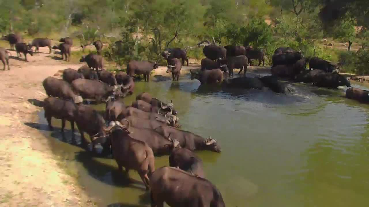 VIDEO: Cape Buffalos came for a morning drink