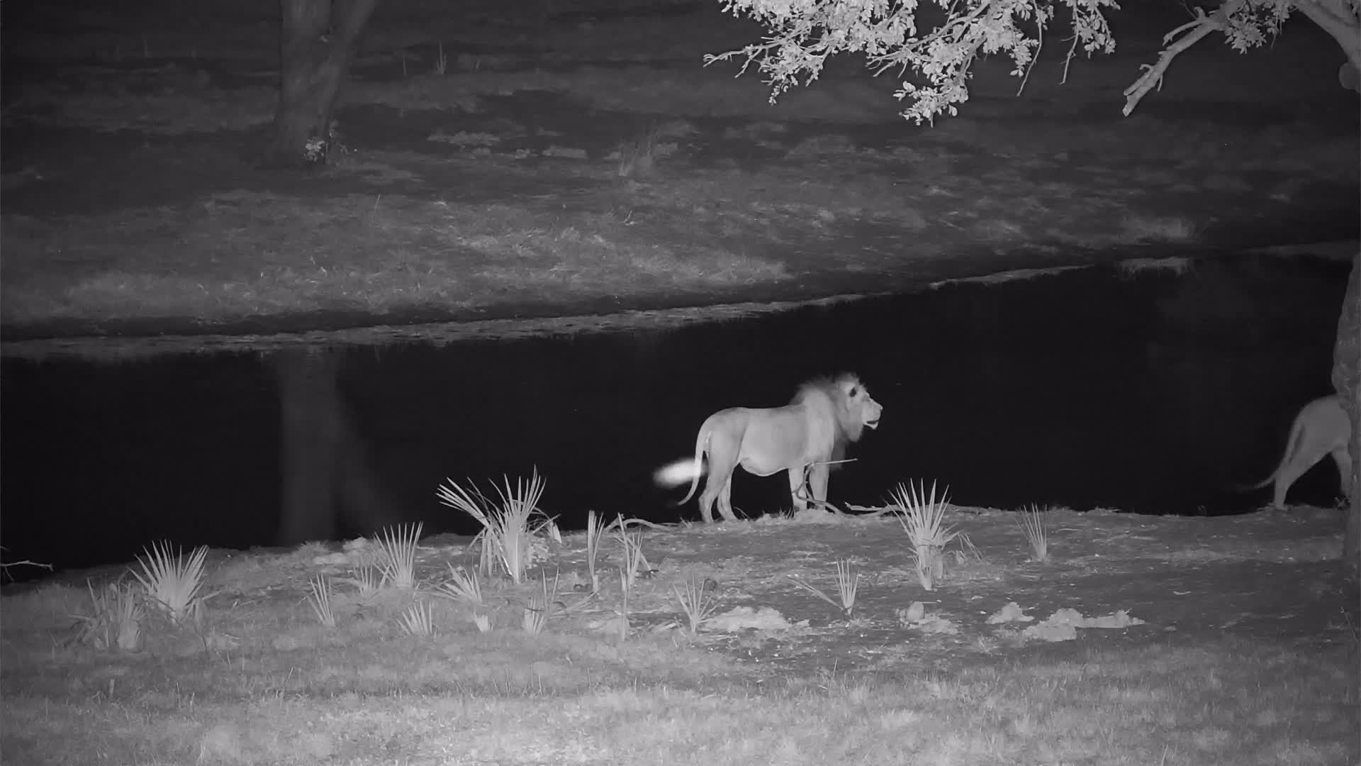 VIDEO: Two Lions circle the water hole