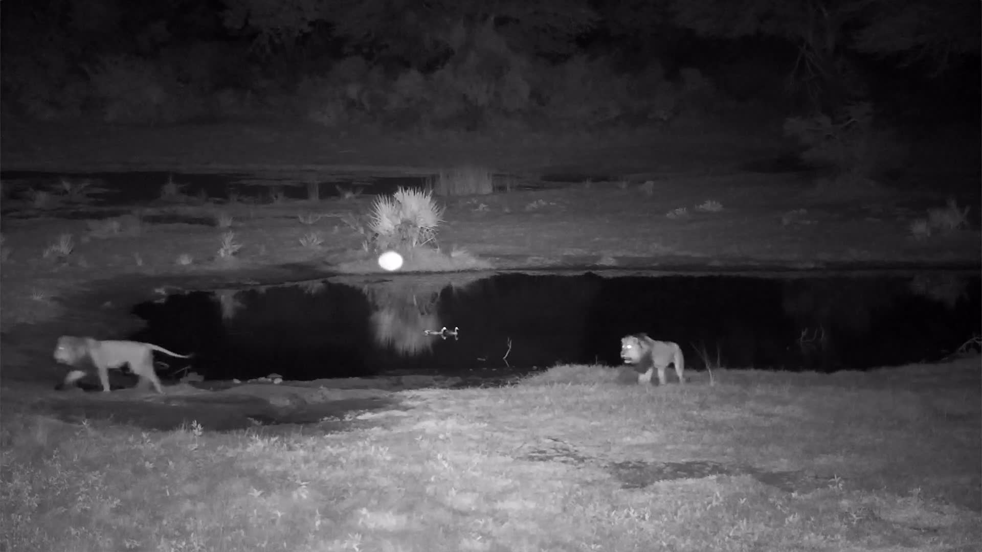 VIDEO:  2 big Male Lions  on the prowl