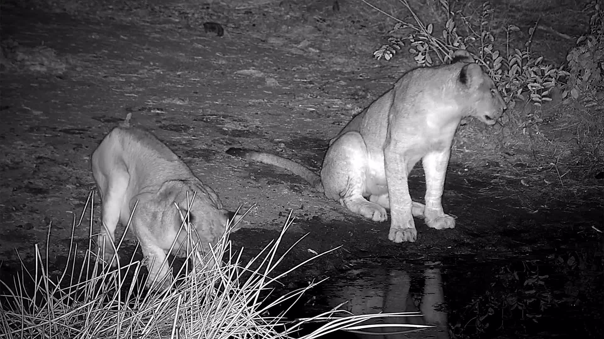 VIDEO: Thirsty Lion Pride stopped at the waterhole for a drink