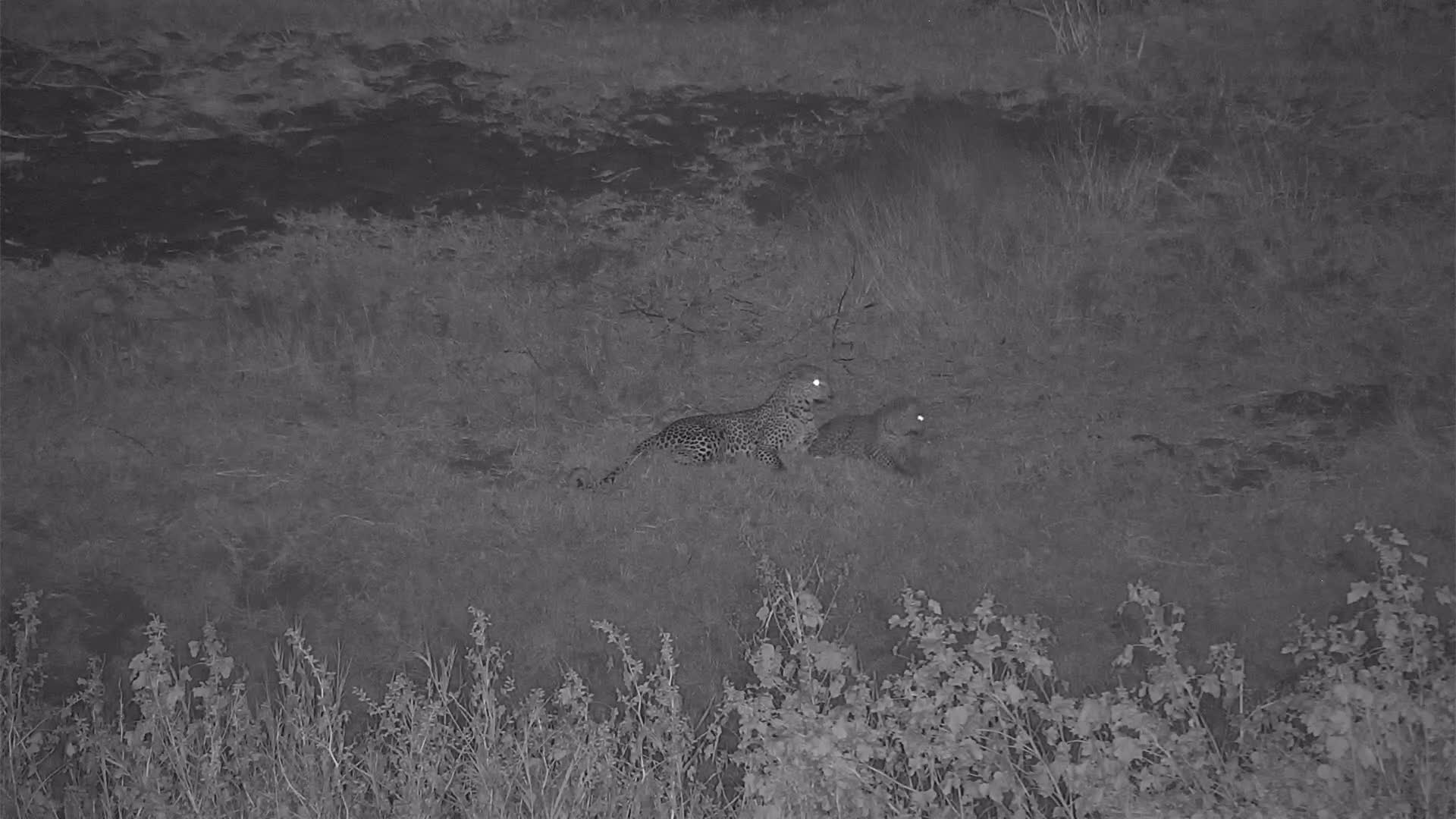 VIDEO:  Leopards:  Mom and her young cub