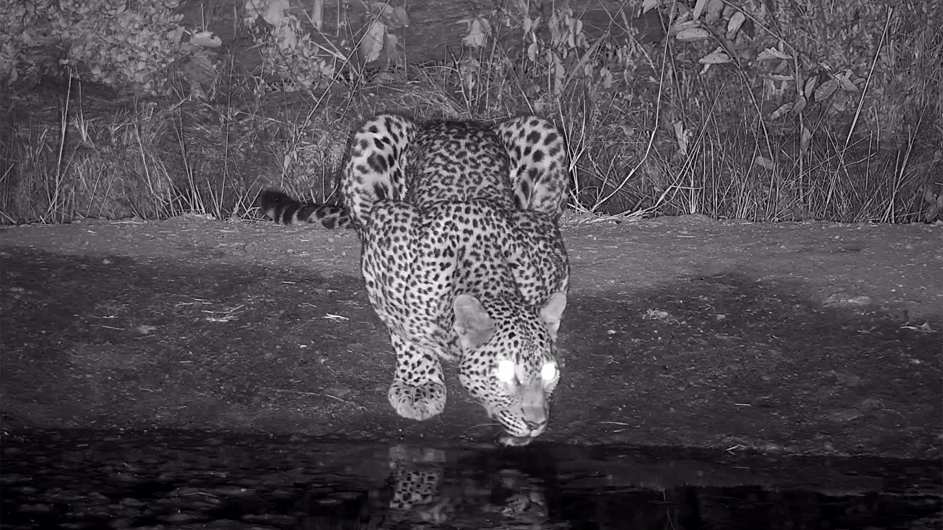 VIDEO:  Leopard:  Drinking and marking its territory