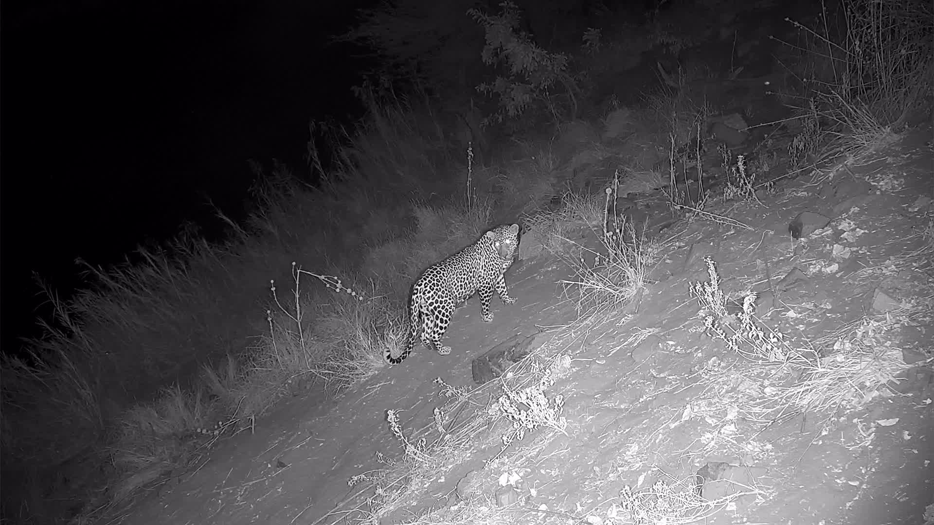 VIDEO:  Leopard passing by