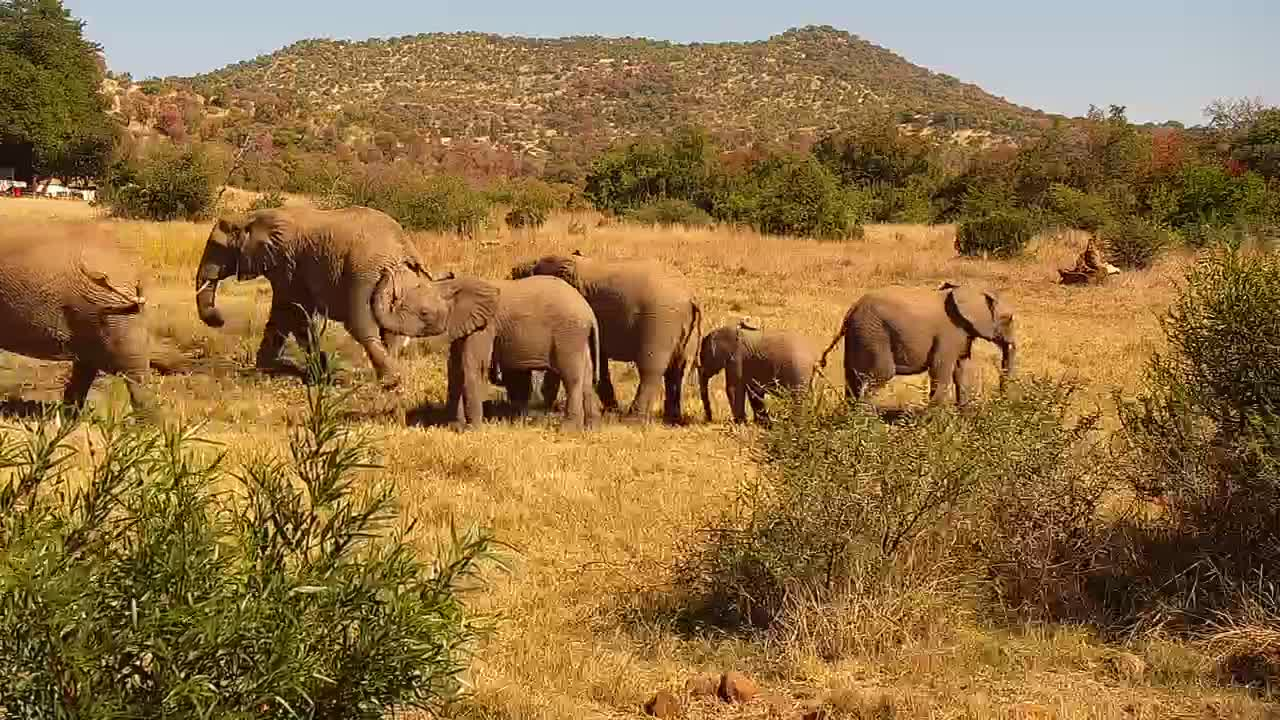 VIDEO: Breeding herd of Elephants and a few small calves