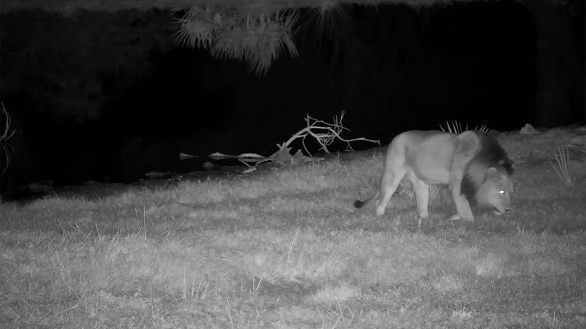 VIDEO:  Lion sniffs around and flees and wanders into the thicket