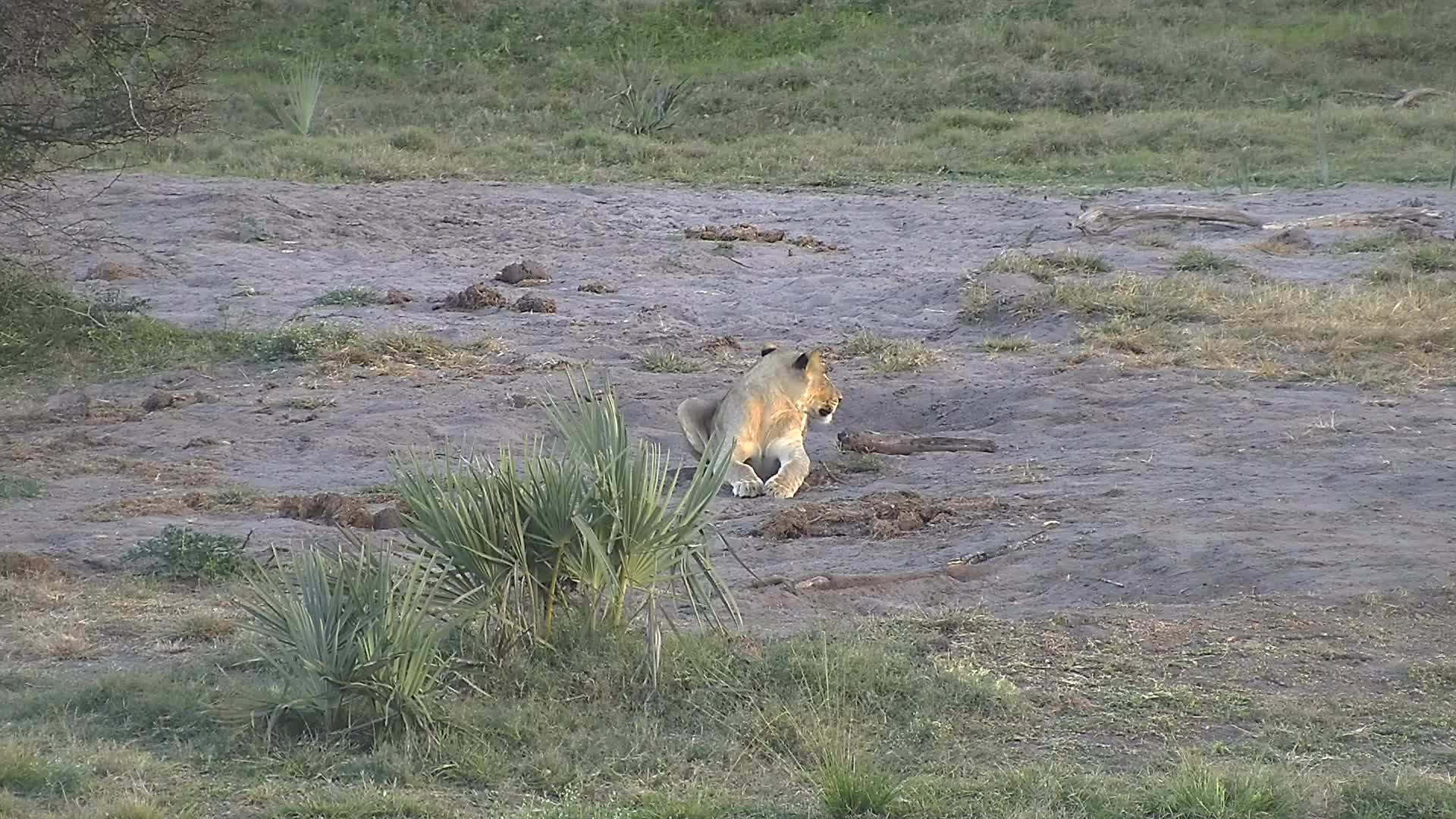 VIDEO:  Lion at the waterhole