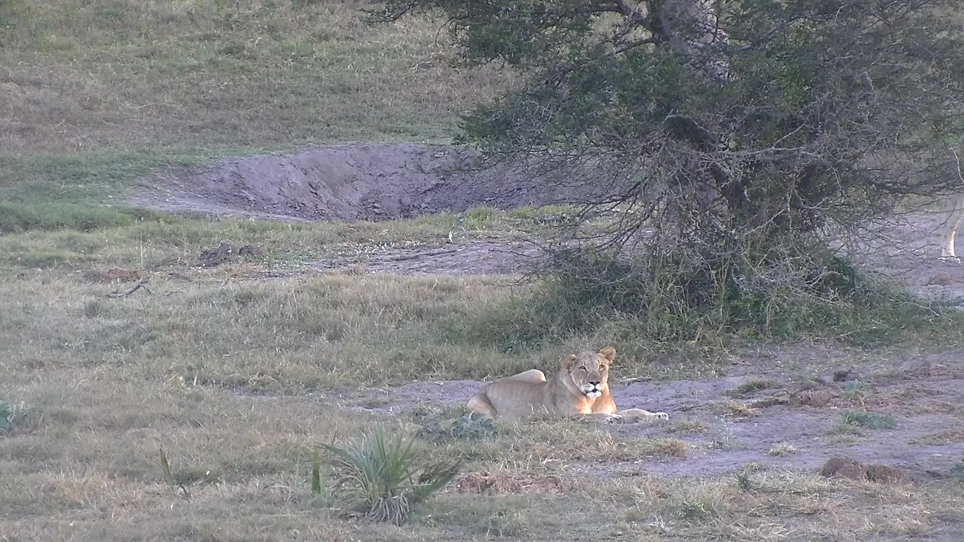 VIDEO:  Lions searching for something to eat