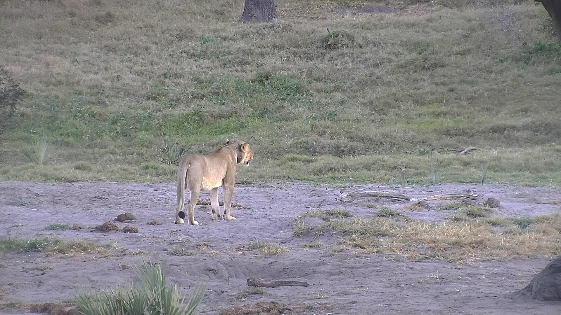 VIDEO:  Lioness walking away from the waterhole
