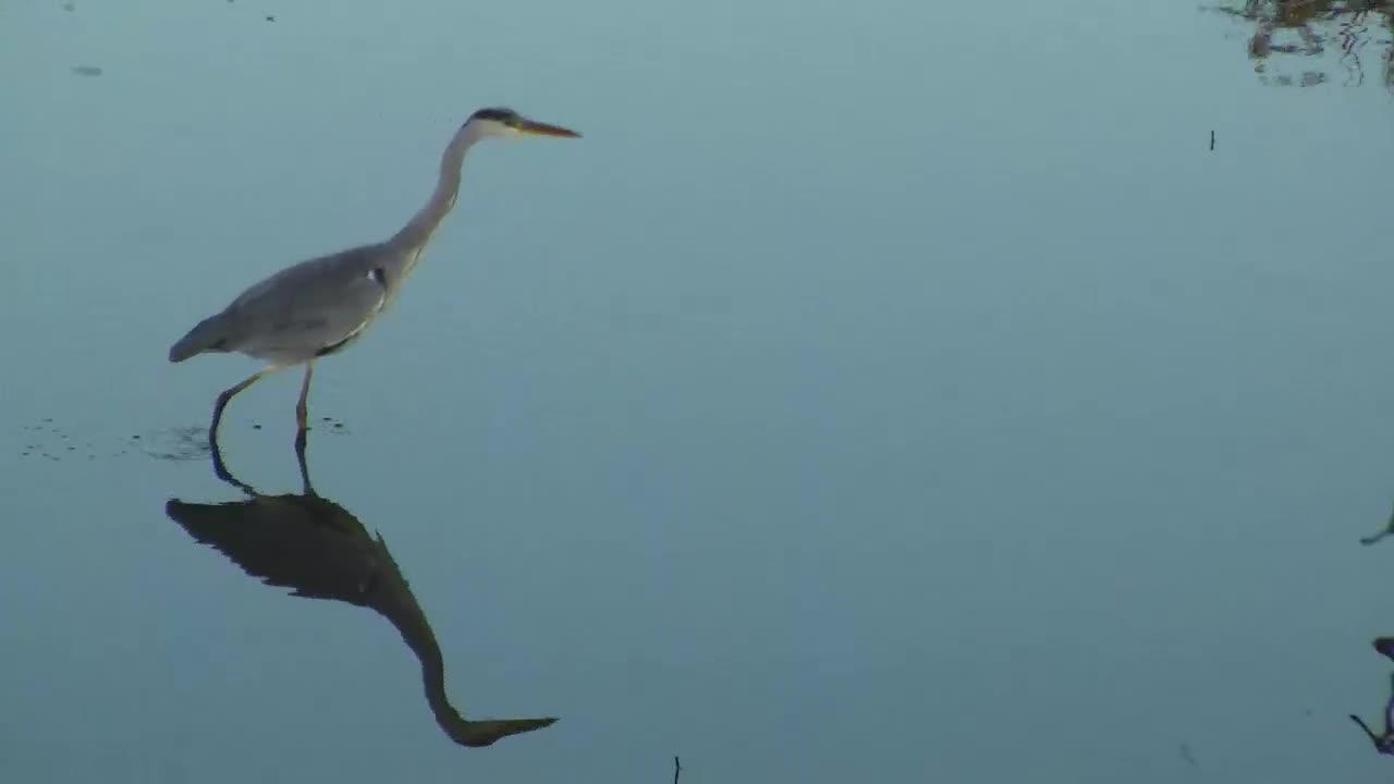 VIDEO:  Grey HERON hunting