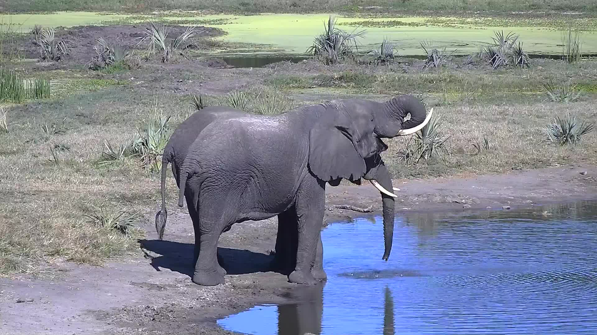 VIDEO: Two Elephant having a drink