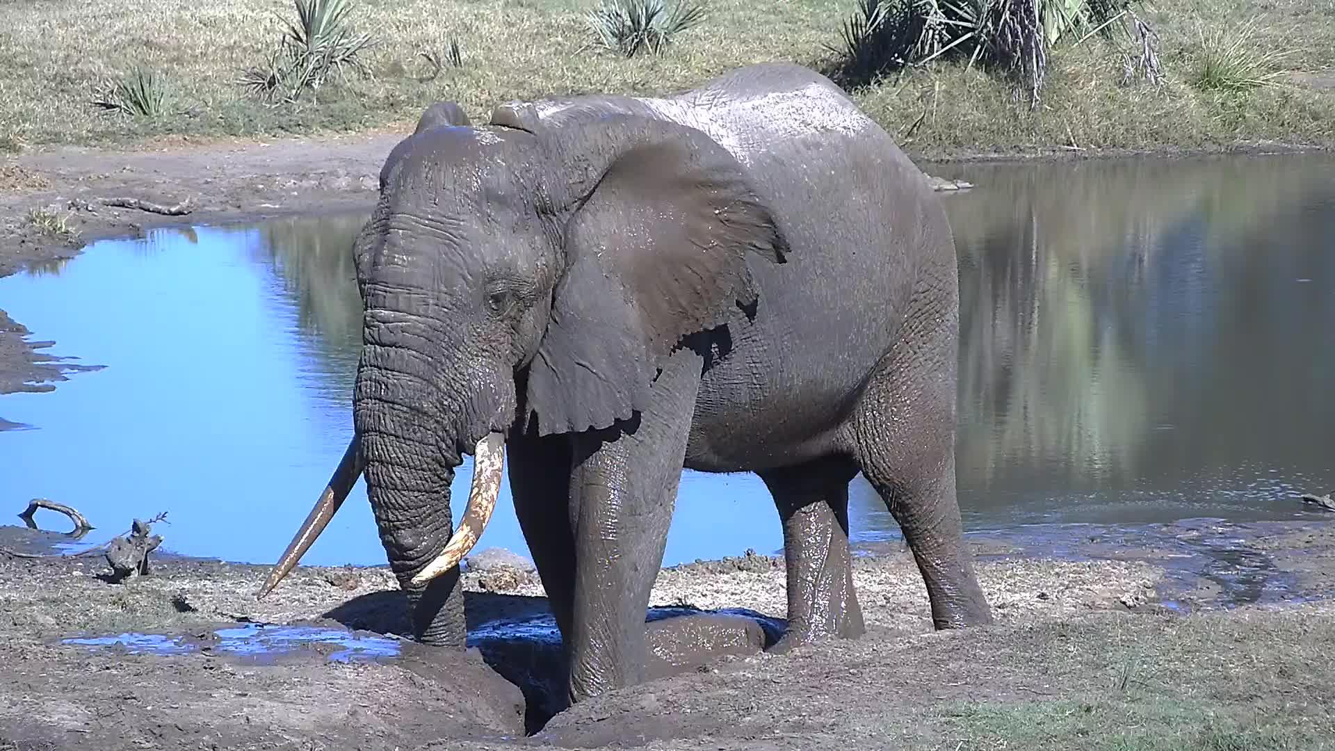 VIDEO: Elephant coating himself with mud