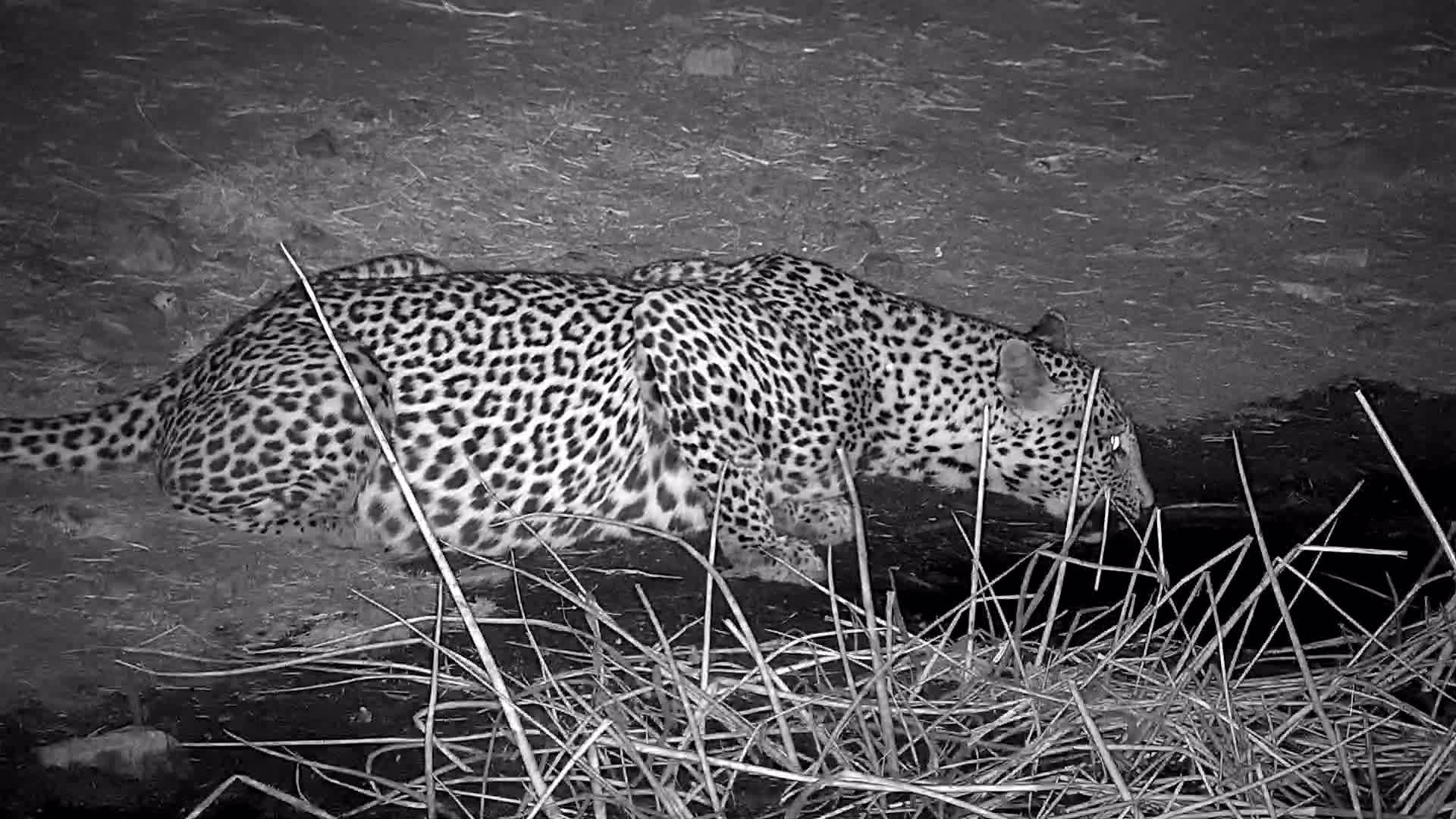 VIDEO: Leopard with a full belly enjoys a drink  Pt 1