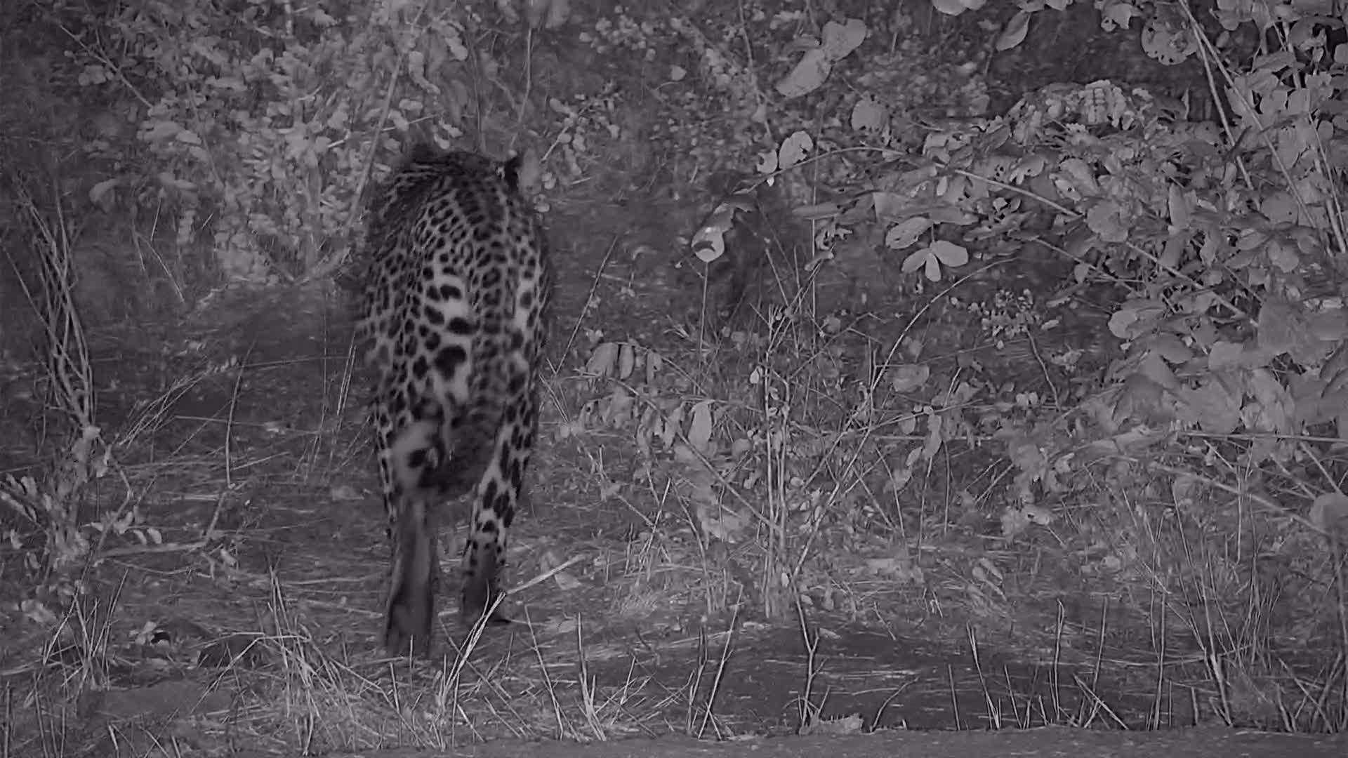 VIDEO:  Leopard with a full belly enjoys a drink Pt 2