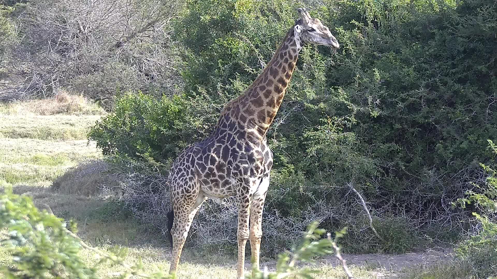VIDEO: Male Giraffe wondering what to do next
