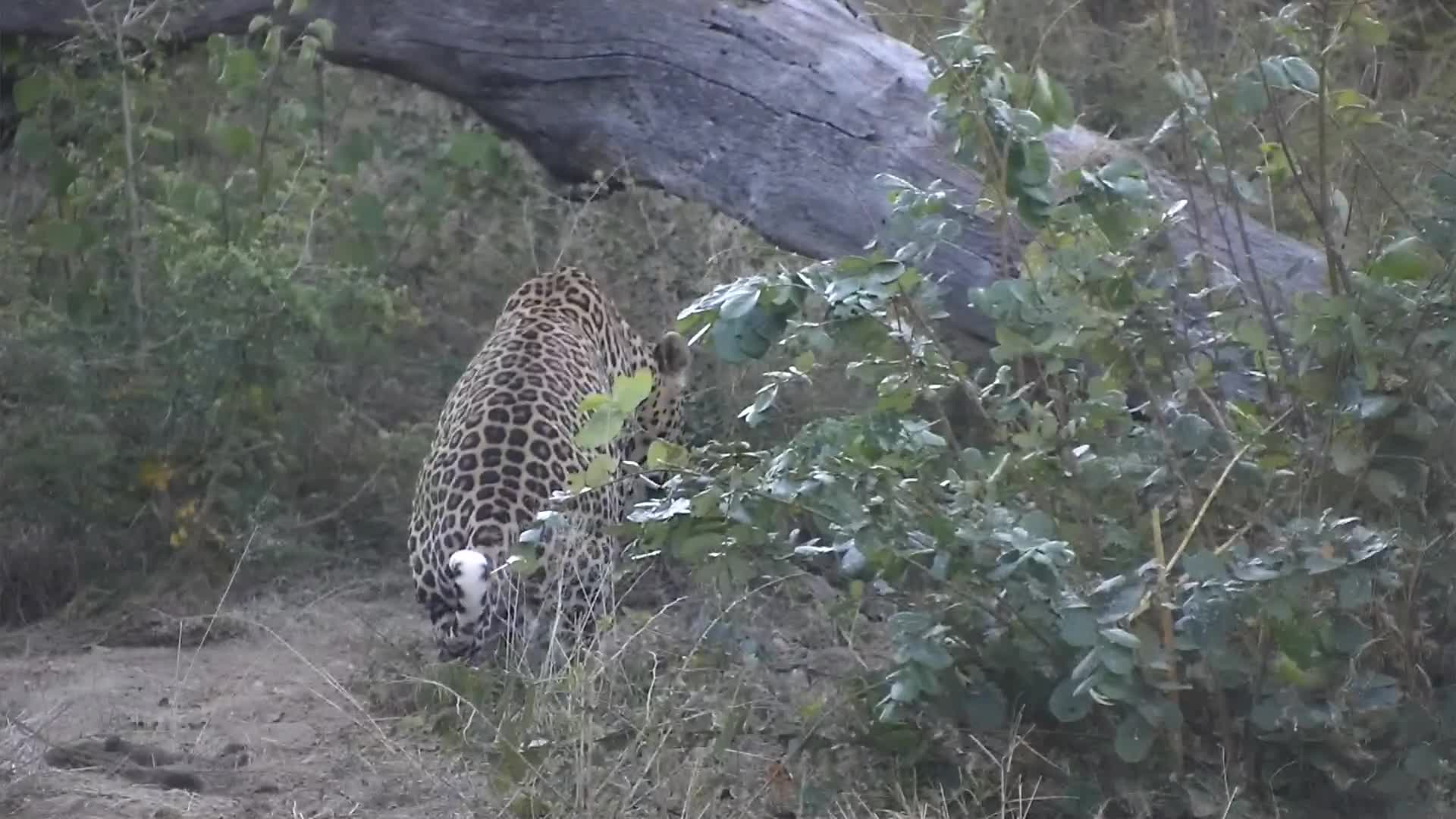 VIDEO: Leopard sawing and marking his territory.