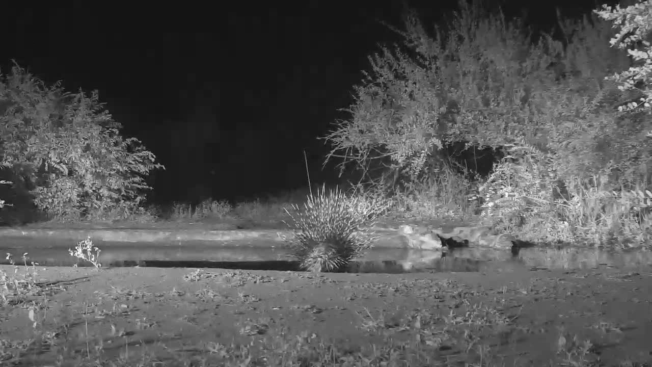VIDEO: Porcupine came for a drink and walked away.