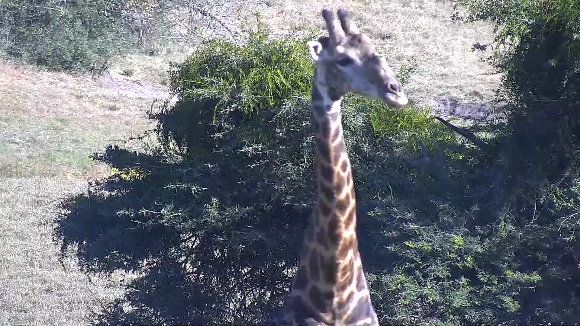 VIDEO: Giraffe could not decide to drink
