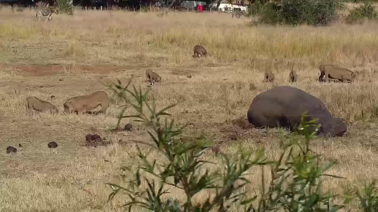 VIDEO:  Hippopotamus resting.