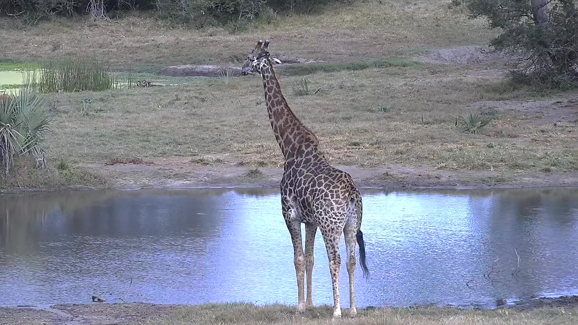 VIDEO: Male Giraffe arriving to have a drink