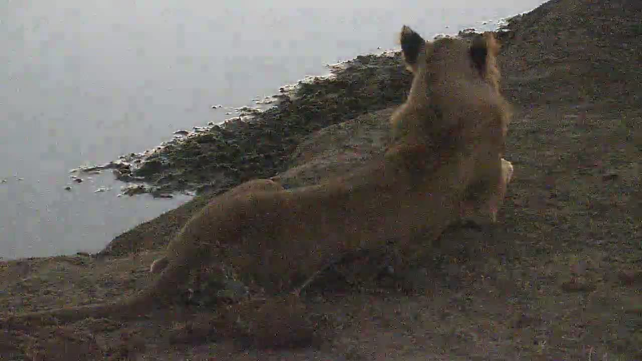 VIDEO:  Juvenile Male Lion with family