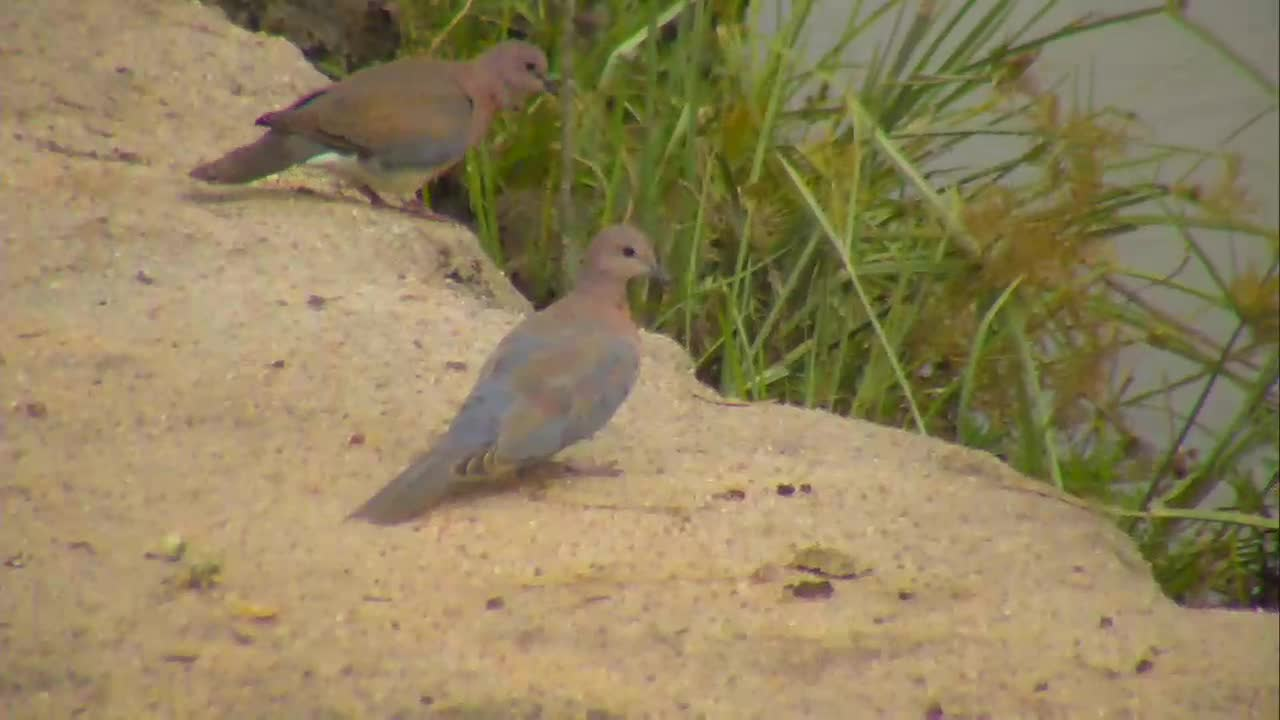 VIDEO: Laughing Doves foraging