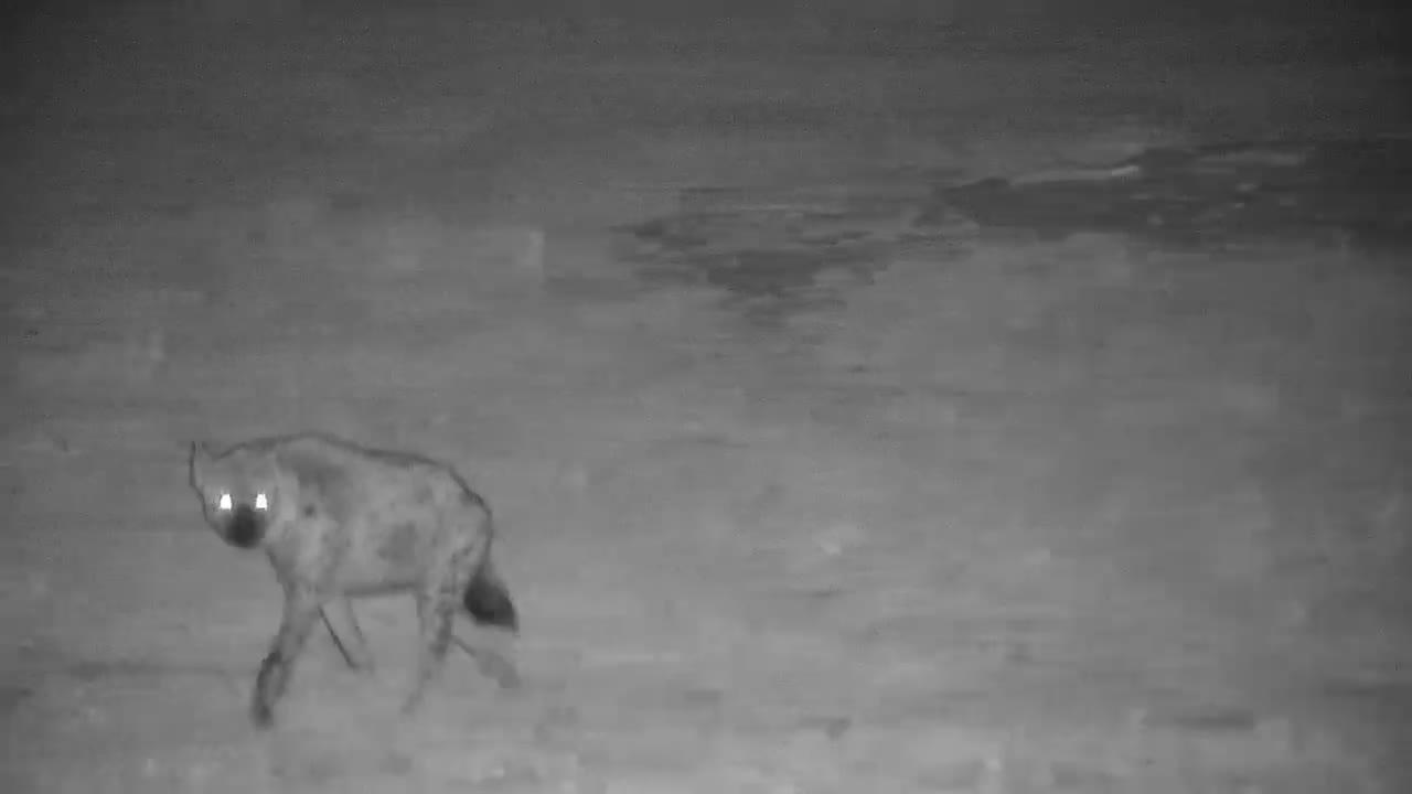 VIDEO:  Hyaena on the hunt