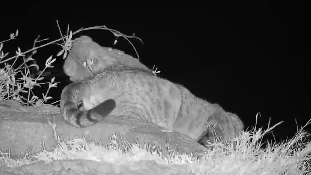 VIDEO:  Close-up of a thirsty African Wildcat