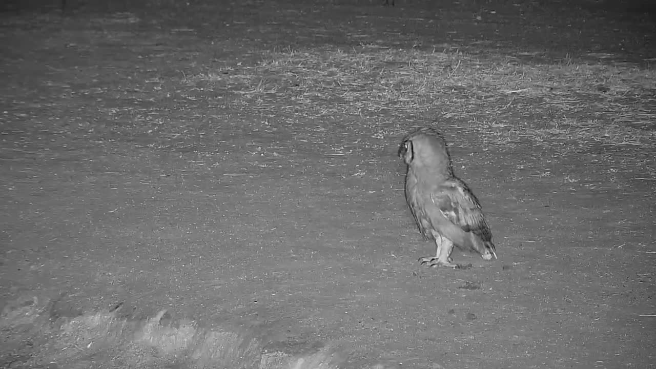 VIDEO: Verreaux's Eagle Owl is attacked by the Blacksmith Lapwings and flies away