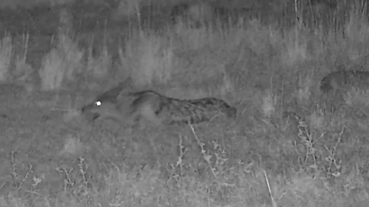 VIDEO: Black-Backed Jackal is chewing something