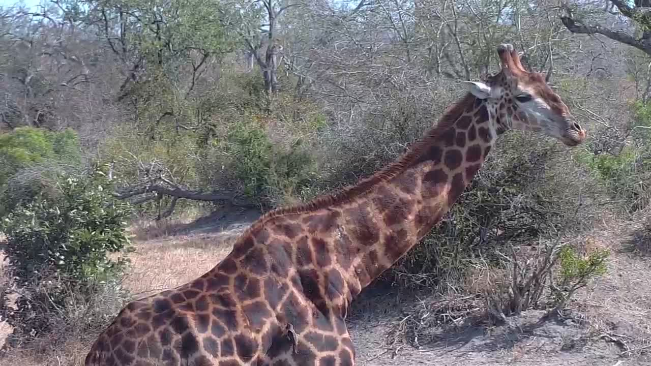 VIDEO: Giraffe comes to drink, accompanied by the ever present Red Billed Oxpeckers