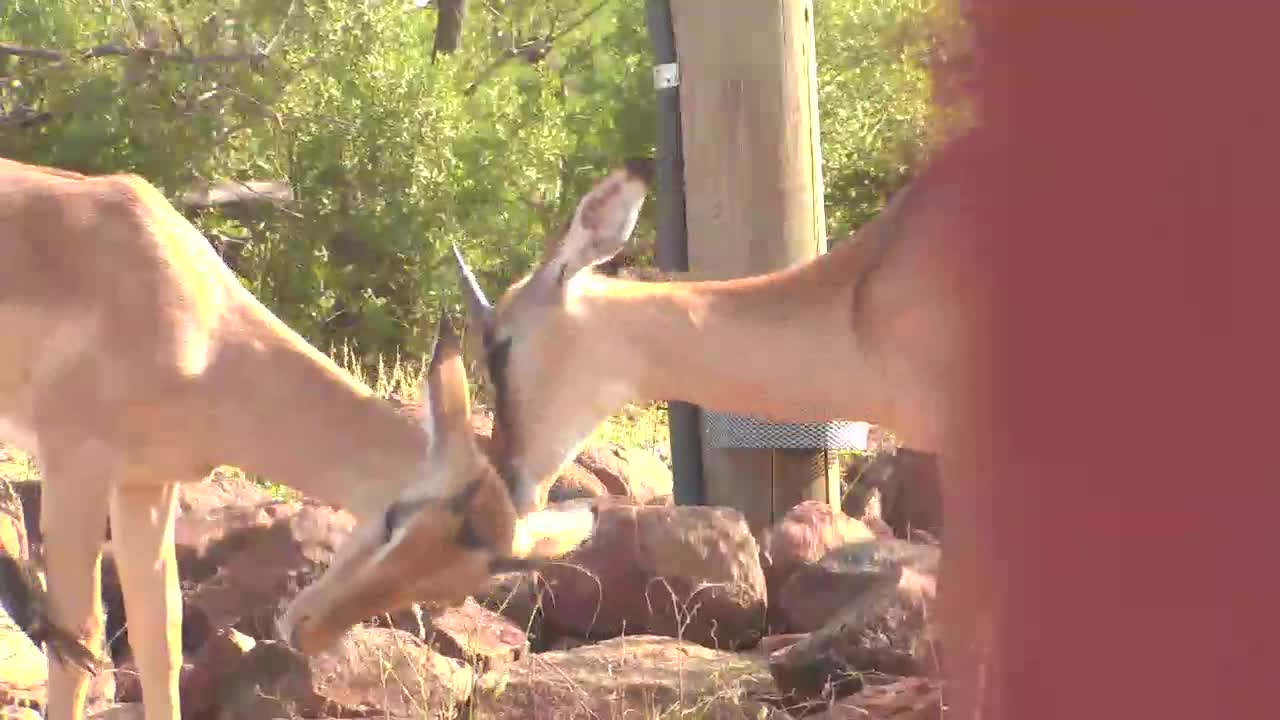 VIDEO: Young Impala Rams grooming each other