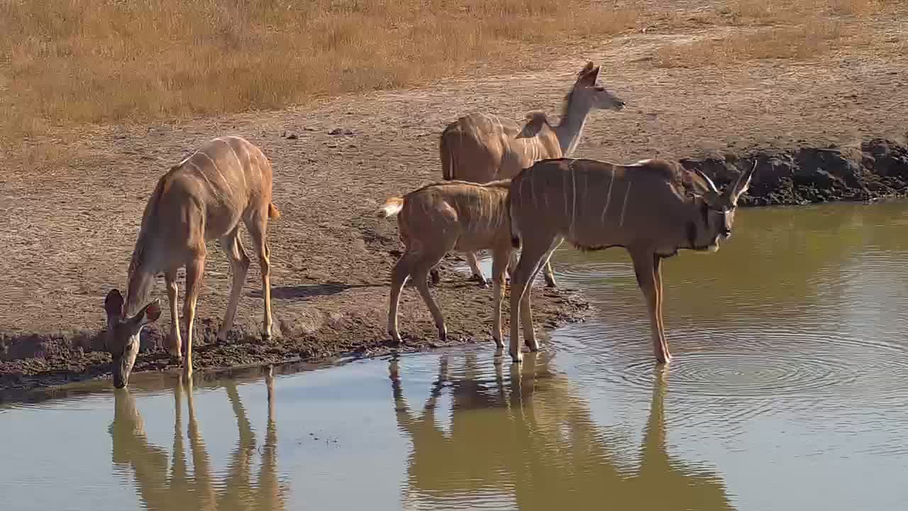 VIDEO: Herd of Kudu come for a quick drink