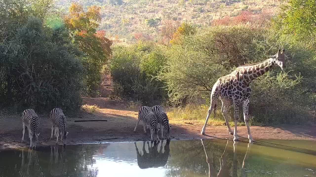 VIDEO: Giraffe and Zebra share an afternoon drink