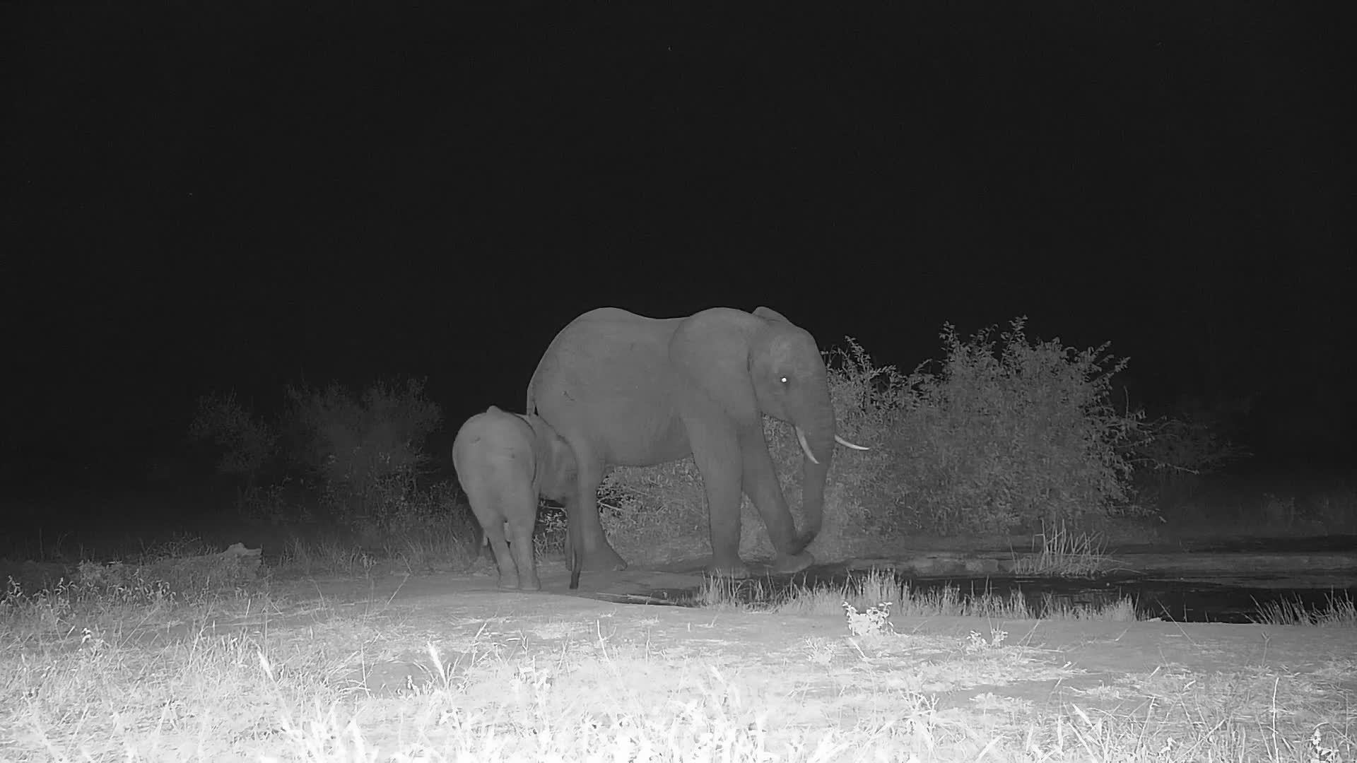 VIDEO: Elephants come for a quick drink and pose for the camera