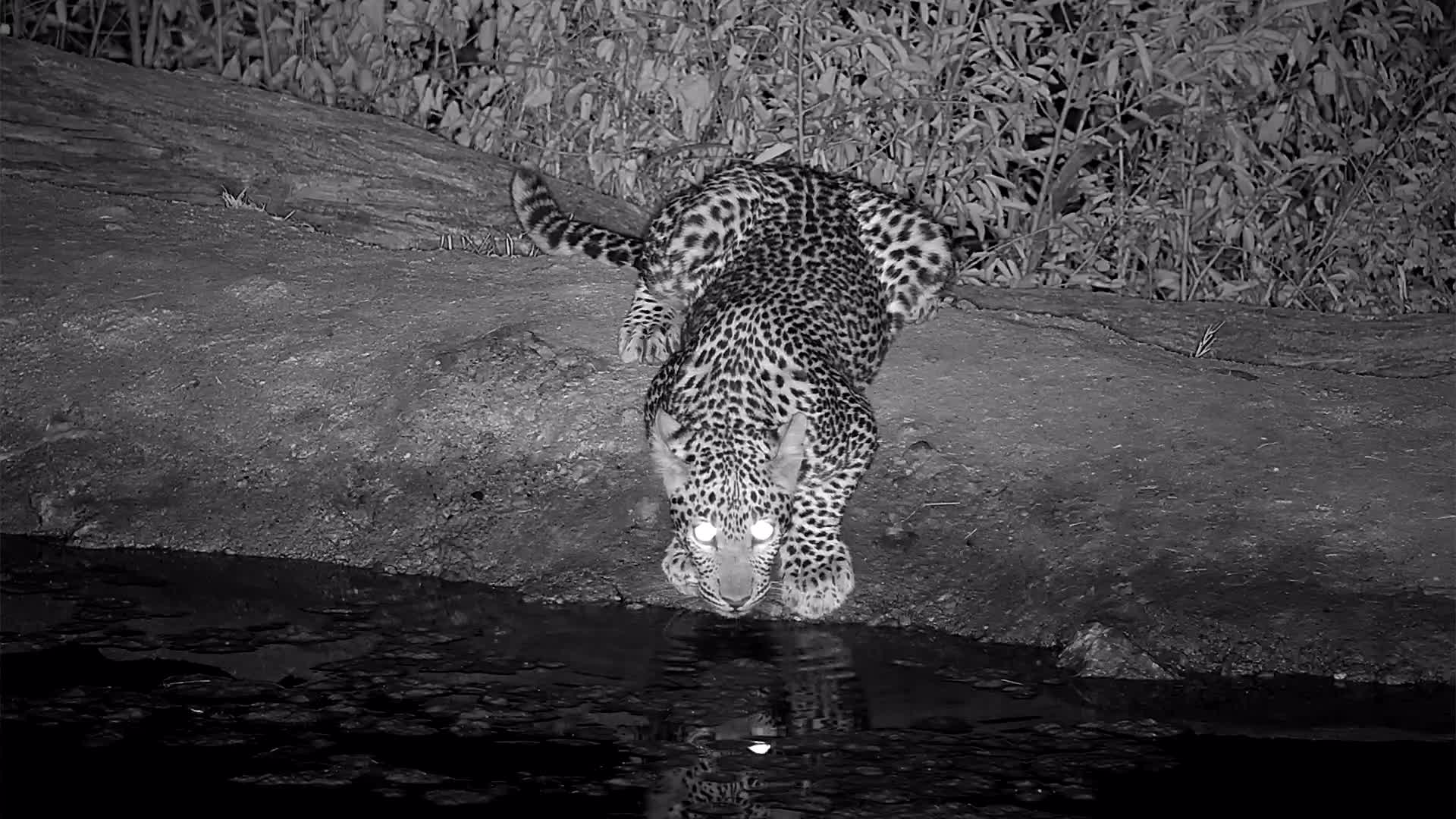 VIDEO: Leopard came for a quick drink and go