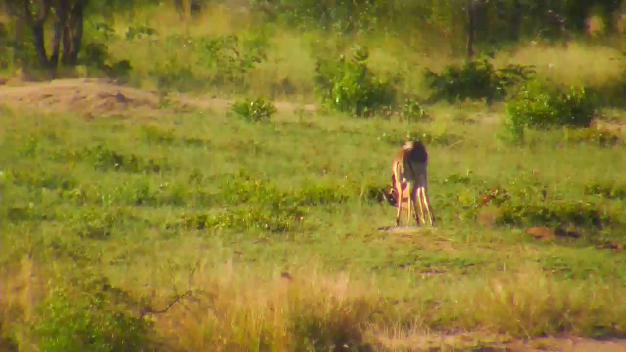 VIDEO:  Impala males sparring