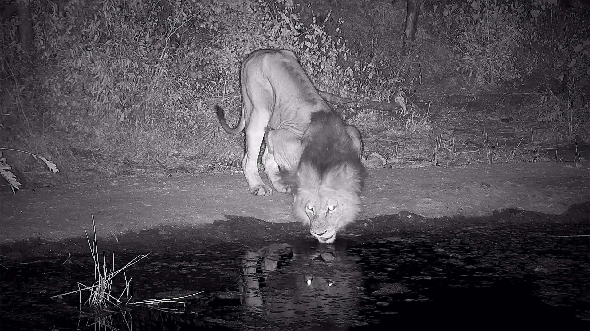 VIDEO: Quick video of a Lion having a drink before heading off