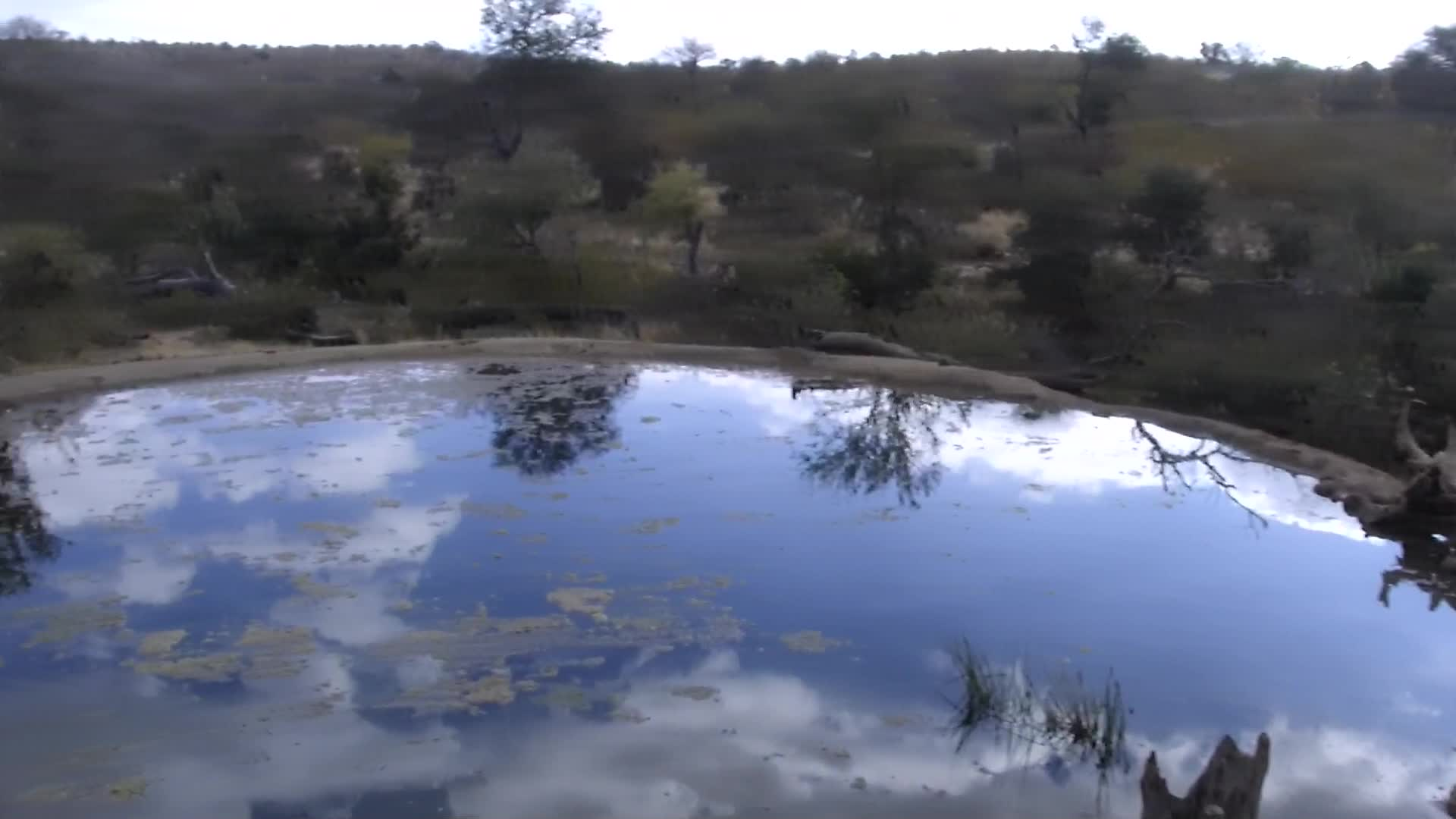 VIDEO: Gathering of the Elephant bulls at the water.