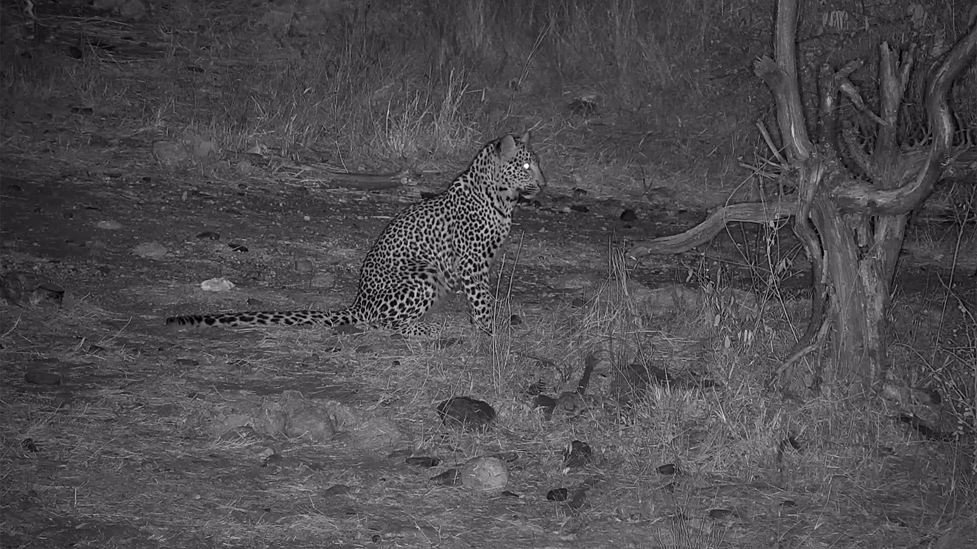 VIDEO: Leopard visiting Naledi