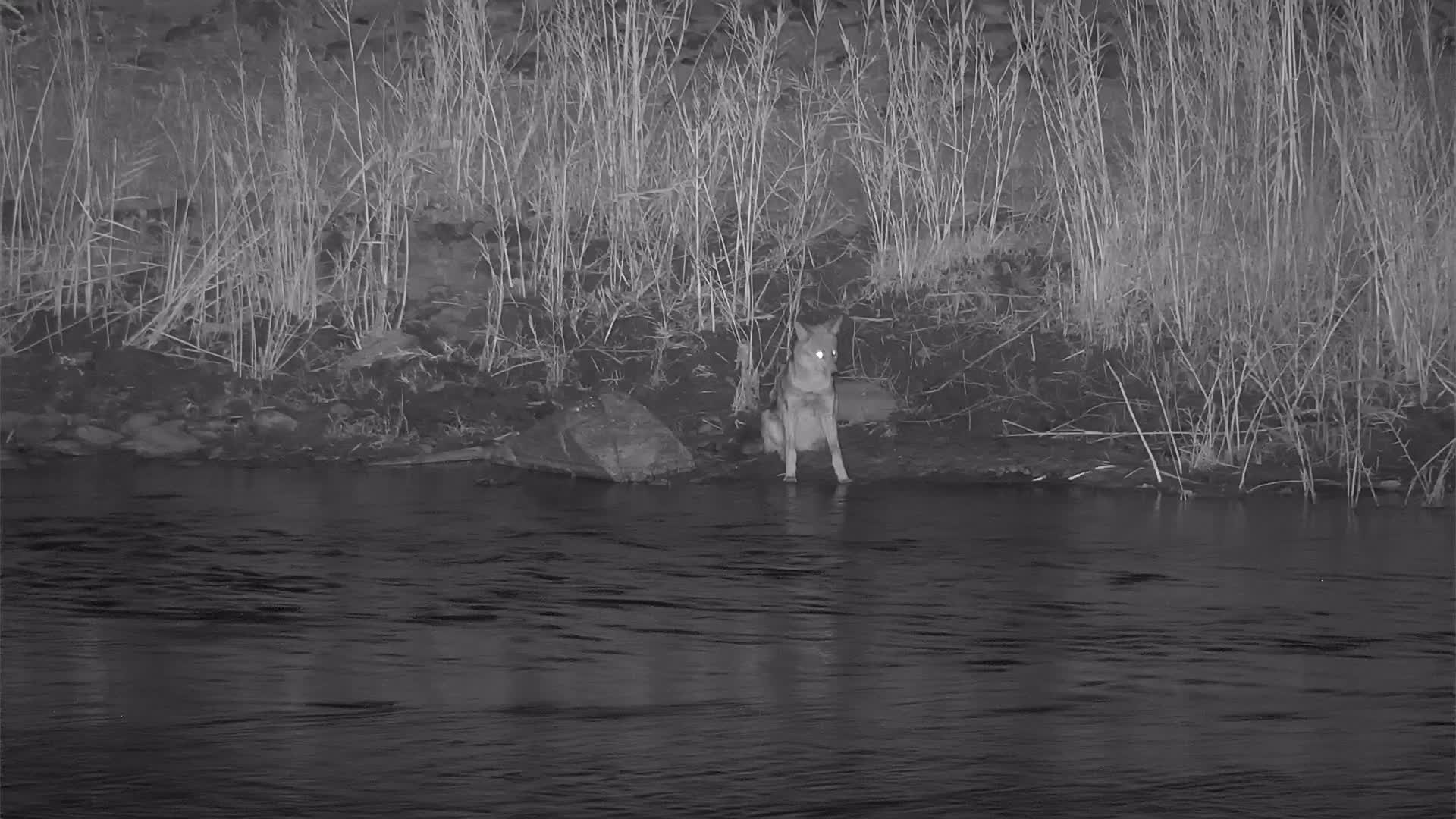 VIDEO: Jackal  sitting on the river and looks if he could get something