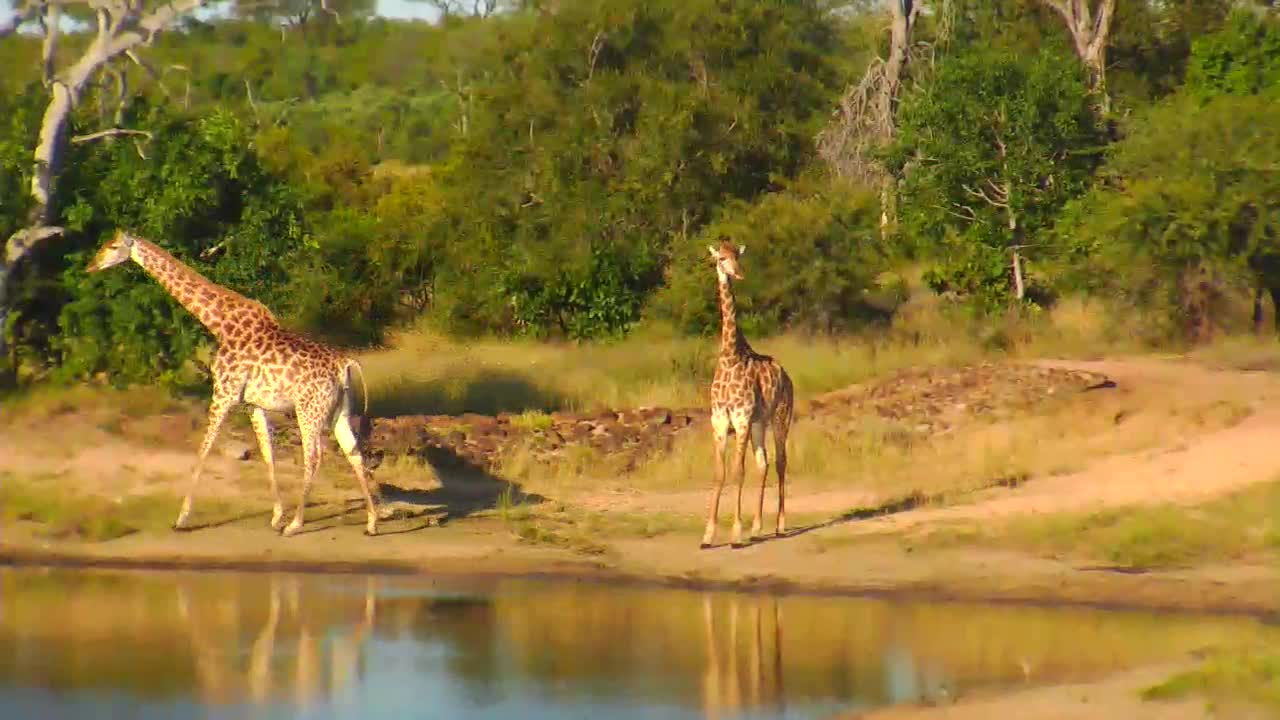 VIDEO: Giraffes visiting the water